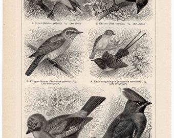 1894 birds original antique animal print