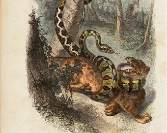 1850 Antique ANIMAL print, hand colored, fight between animals, Boa constrictor and jaguar