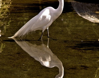 A beautiful Egret Waits for  it's  Lunch 16x20