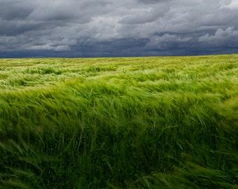 Windy Summer Grain Field under Gray Skies on Prince Edward Island in Canada Color Wall Decor Fine Art Landscape Photography