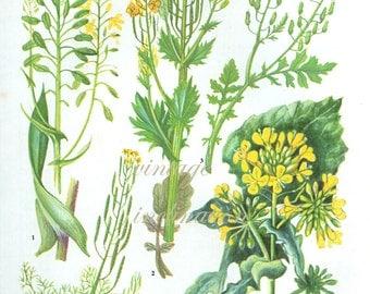 HERBS YELLOW CRESS Vintage Botanical Print Antique, plant print 11 botanical print, bookplate art print, herb plants plant wall print