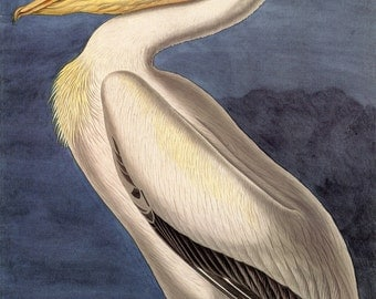 John James Audubon Watercolor Reproductions - American White Pelican, 1829. Fine Art Print.