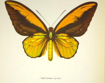 1940's Awesome Butterfly Insect Print Vintage Science Plate