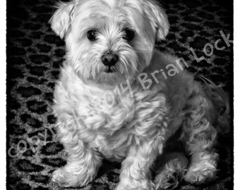 FREE SHIPPING - Maltese Dog Black and White Photograph - Sir Charles Barksalot