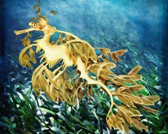 Leafy Sea Dragon 10 x 10 Gallery Stretched Canvas