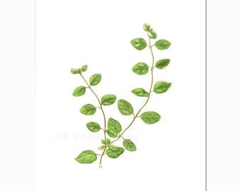 "Kitchen Art, Oregano Plant Original Watercolor Painting, Herb Art Botanical Illustration, Green Leaf Watercolour Culinary Art 10""X8"""