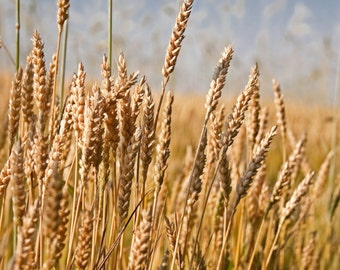 Summer wheat field Digital, Instant Download, Printable Fine Art Photography, Wall Decor