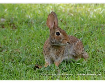 The Rabbit Photo - Bunny Art -  Nature Photography - Inspired by Aesop The Tortoise and the Hare - theRDBcollection - Renee Dent Blankenship
