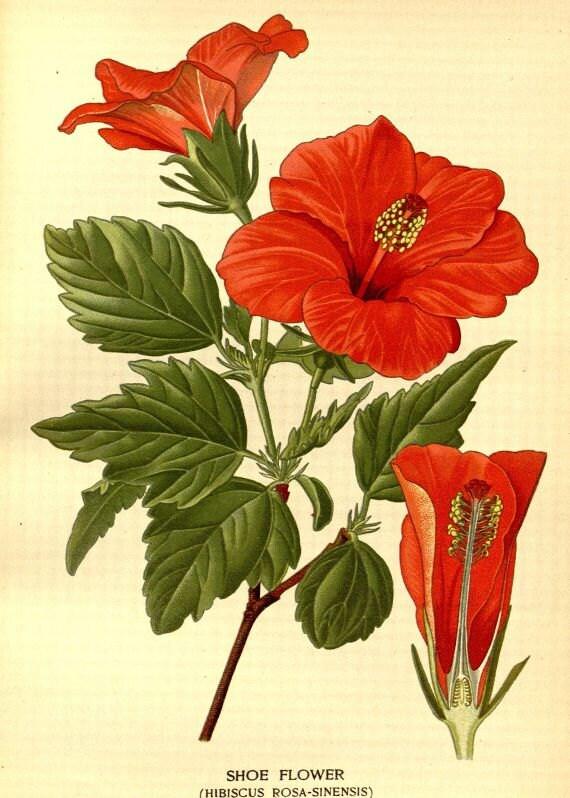 Shoe Flower Hibiscus Rosa Sinensis Victorian Botanical