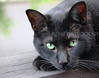 Black Cat, feline photography, black cat art, green eyes, short hair domestic cat, black domestic cat, crazy cat lady, cat lover gift, black