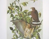 Broad Winged Hawk - Audubon Bird Print - 1966 Vintage Book Page - 13 x 11
