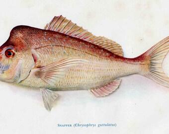 Schnapper Fish print, 1955 Australian Fish print