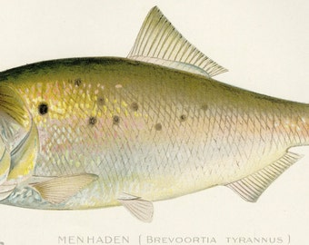 "1896 ""Menhaden"" Antique Fish Print  Sherman F. Denton First Edition New York State"