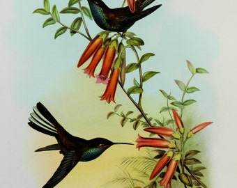 Pied Tail Humming Bird, South American Tropical Bird Print by John Gould on Good Quality Art Paper (1950s)