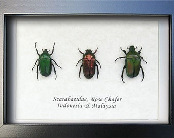 Jewel Real Beetles Set Rose Chafer In Museum Quality Shadowbox