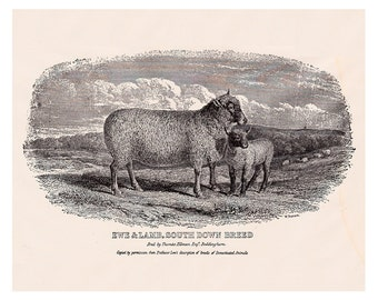 antique sheep and lamb, vintage printable digital image no. 708