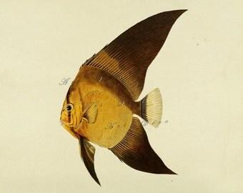 antique fish print, DIY beach cottage home decor, a vintage printable image, no. 304.