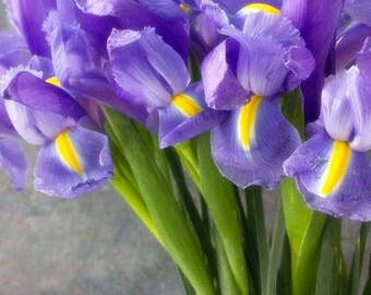 Dutch Iris Photograph, Purple   Floral Art Print,  Flower Wall Decor, Still Life Photography