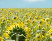 Flower Photography, Sunflower Field, Floral Wall Art, Sunflower Art Print, Nature, Yellow, Blue, Clouds 8x10, 11x14 - Fields of Yellow