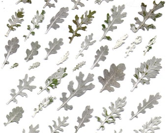 digital collage sheet  dusty miller leaves pressed