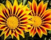 Orange & Red Gazania Flowers Fine Art Print