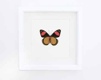 Real Framed Butterfly Painted Beauty in White Museum Shadowbox