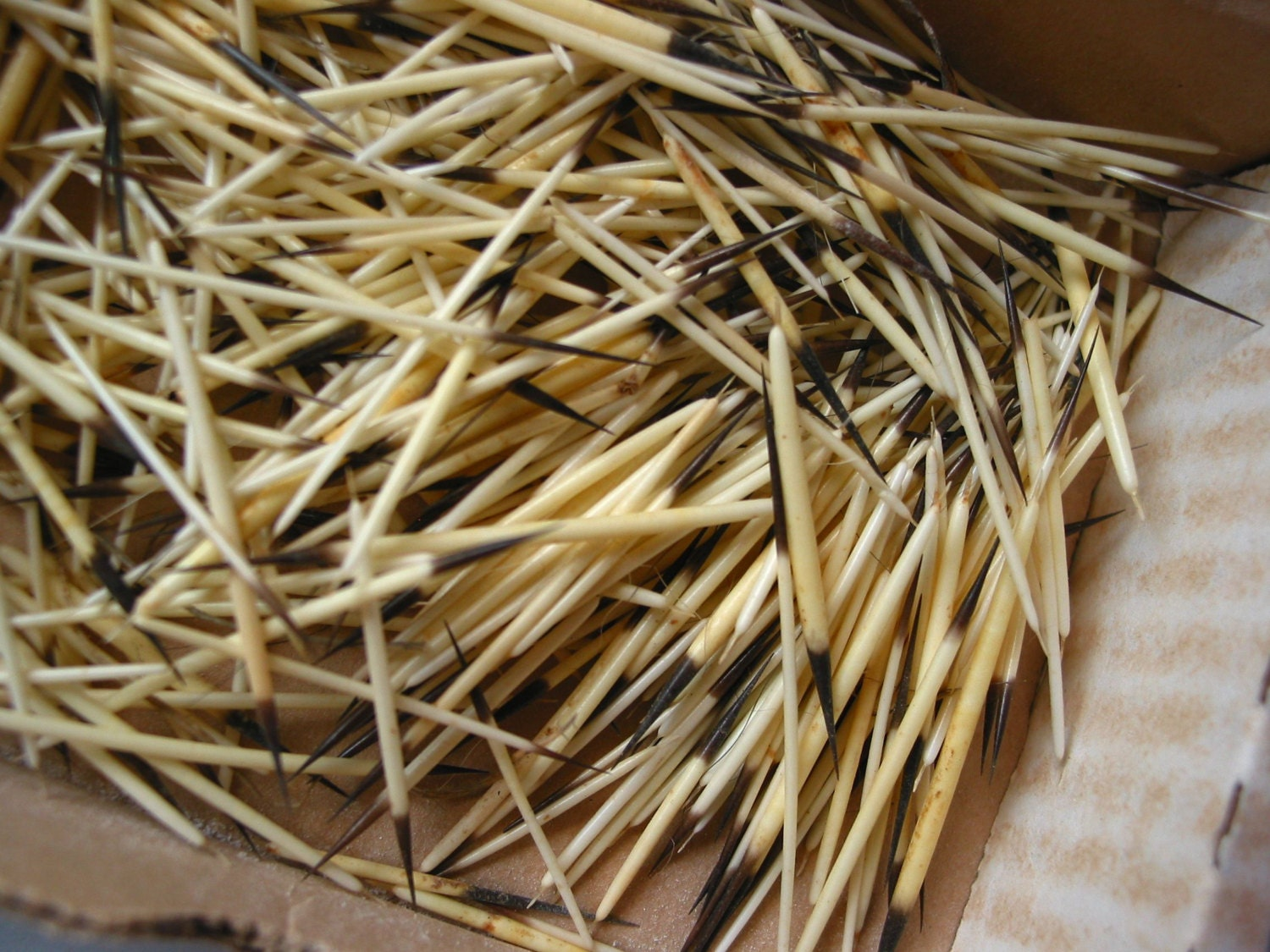 Porcupine quills authentic Lot Box for arts and crafts