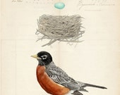American Robin Nest and Egg Group on French Document print 5x7