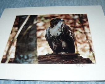 Fabulous Colored Photograph Red Tail HAWK Silver Springs Florida 1991 Artist Signed
