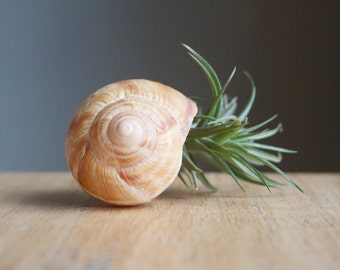 Air Plant In Snail Shell, Eco Gift Under 20, Whimsical Gift for the Naturalist, Tiny Garden, Tiny Planter, Fairy Garden