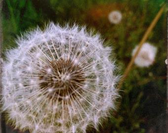 My Wish For You: Dandelion Fine Art Print (8x8)