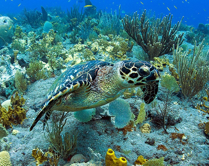 Sea Turtle Art Underwater Photography print of Hawksbill Sea Turtle Great for Beach House Decor
