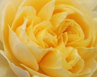 Yellow Rose - Nature Photography - Flower Print - Flower Photography - 10x8 - 8x8 - Home decor - Wall Art - Floral Wall Decor