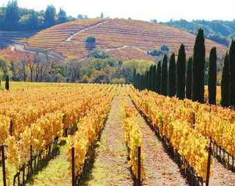 California Wine Country Vineyard Golden Vines and HIlls Fine Art Original Photograph