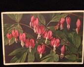 Pink Bleeding Heart Flowers  - Plant