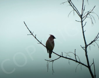Print or Greeting Card Silhouette Fog Cedar Waxwing Bird Nature Photography Woodland Ornithologist Minimalist Wall Art