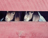 baby animals goats farm farmhouse / 16x20 Fine Art Photograph / red brown white