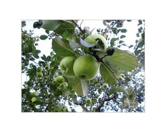 Little Green Apples, Fine Art Photograph, Nature At Its Finest, As Sure As God Made Little Green Apples, Autumn And Apples, Classic Beauty.