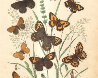 1863 Antique Hand Coloured Copper-plate Engraving of Brush-footed and Metalmark Butterflies, Ringlet, Hedge Brown, Meadow Brown