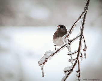 Bird Art Print, Nature Photography, Dark-eyed Junco, Winter Ice Storm, Bird on Frozen Tree Branch, Gray, Choose a Size