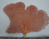 """13.8"""" x 11.8"""" Natural Red Color Sea Fan Seashells Reef Coral"""