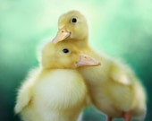 Duck Photography, Nursery Wall Art, Picture of Ducks, Snuggling Baby Animals, Twin Baby Gifts, Aqua Mint Green Wall Art, Yellow Ducklings