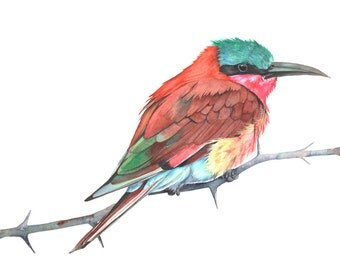 Carmine Bee Eater Watercolor Painting - print of watercolor painting. CBE2014. A4 size medium print wall art print - bird art print