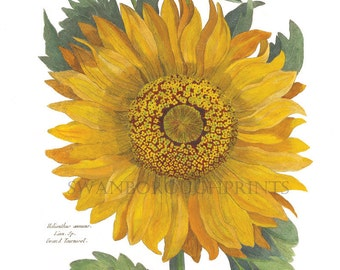 Sunflower Print. Vintage French Sunflower Print. French Provence Home Decor. Homespunsociety. French chic. Botanical Gift. Gardeners Gift
