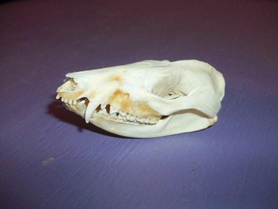 Real animal bone skull part Opossum taxidermy skeleton head