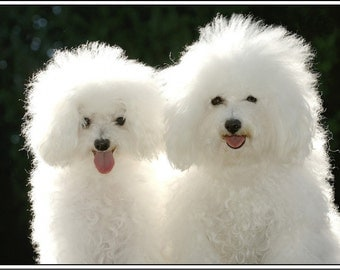 4 Dog Puppy Bichon Frise Puppies Dogs Greeting Stationery Notecards/ Envelopes Set