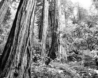 "20"" x 30"" Print on Canvas, Fine Art Print, Muir Woods, Black and White Photography, Nature, Forest - ""Shine Down"""