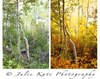 "Two 20"" x 30"" Prints on Canvas, Aspen Trees, Colorado Aspens, Fall - ""Twisted Summer"" & ""Twisted Fall"""