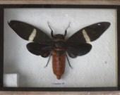 Real GAEANE SP CICADA Taxidermy in Wooden Box/CI08B