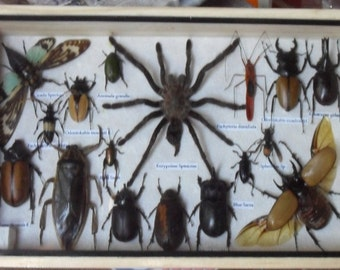 REAL Multiple INSECTS BEETLES Spider Cicada Collection in wooden box /is08H